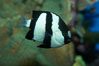 White-tailed damselfish. Image #11845