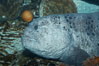 Wolf eel, although similar in shape to eels, is cartilaginous and not a true fish.  Its powerful jaws can crush invertibrates, such as spiny sea urchins.  It can grow to 6 feet (2m) in length. Image #11847