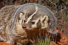 American badger.  Badgers are found primarily in the great plains region of North America. Badgers prefer to live in dry, open grasslands, fields, and pastures. Image #12045
