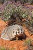 American badger.  Badgers are found primarily in the great plains region of North America. Badgers prefer to live in dry, open grasslands, fields, and pastures. Image #12047