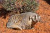 American badger.  Badgers are found primarily in the great plains region of North America. Badgers prefer to live in dry, open grasslands, fields, and pastures. Image #12048