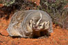 American badger.  Badgers are found primarily in the great plains region of North America. Badgers prefer to live in dry, open grasslands, fields, and pastures. Image #12049