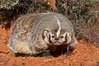 American badger.  Badgers are found primarily in the great plains region of North America. Badgers prefer to live in dry, open grasslands, fields, and pastures. Image #12050