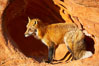 Red fox.  Red foxes are the most widely distributed wild carnivores in the world. Red foxes utilize a wide range of habitats including forest, tundra, prairie, and farmland. They prefer habitats with a diversity of vegetation types and are increasingly encountered in suburban areas. Image #12070
