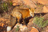 Red fox.  Red foxes are the most widely distributed wild carnivores in the world. Red foxes utilize a wide range of habitats including forest, tundra, prairie, and farmland. They prefer habitats with a diversity of vegetation types and are increasingly encountered in suburban areas. Image #12072