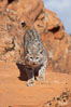 Bobcat.  Bobcats are found throughout North America from southern Canada to southern Mexico. In the United States population densities are much higher in the southeastern region than in the western states. Bobcats can be found in a variety of habitats, including forests, semi-deserts, mountains, and brushland. They sleep in hidden dens, often in hollow trees, thickets, or rocky crevices. Image #12124