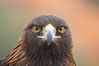 Golden eagle. Image #12207