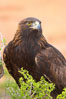 Golden eagle. Image #12210