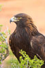 Golden eagle. Image #12211