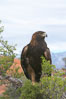 Golden eagle. Image #12214