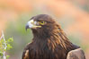 Golden eagle. Image #12216