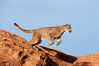 Mountain lion leaping. Image #12283