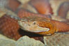 Trans-Pecos copperhead snake.  The Trans-Pecos copperhead is a pit viper found in the Chihuahuan desert of west Texas.  It is found near streams and rivers, wooded areas, logs and woodpiles. Image #12578