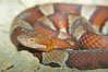 Trans-Pecos copperhead snake.  The Trans-Pecos copperhead is a pit viper found in the Chihuahuan desert of west Texas.  It is found near streams and rivers, wooded areas, logs and woodpiles. Image #12581