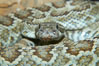 Southern Pacific rattlesnake.  The southern Pacific rattlesnake is common in southern California from the coast through the desert foothills to elevations of 10,000 feet.  It reaches 4-5 feet (1.5m) in length. Image #12588
