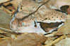 African gaboon viper camouflage blends into the leaves of the forest floor.  This heavy-bodied snake is one of the largest vipers, reaching lengths of 4-6 feet (1.5-2m).  It is nocturnal, living in rain forests in central Africa.  Its fangs are nearly 2 inches (5cm) long. Image #12737