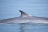 Fin whale dorsal fin.  The fin whale is named for its tall, falcate dorsal fin.  Mariners often refer to them as finback whales.  Coronado Islands, Mexico (northern Baja California, near San Diego). Coronado Islands (Islas Coronado), Coronado Islands, Baja California, Mexico. Image #12769
