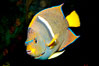 King angelfish. Image #12891