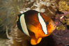 Barrier reef anemonefish. Image #12912