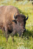 Bison. Grand Teton National Park, Wyoming, USA. Image #13002