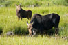 Mother moose grazes in Christian Creek while its calf watches nearby. Christian Creek, Grand Teton National Park, Wyoming, USA. Image #13038