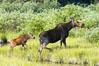 Mother and calf moose wade through meadow grass near Christian Creek. Christian Creek, Grand Teton National Park, Wyoming, USA. Image #13041