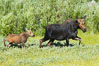 Mother and calf moose wade through meadow grass near Christian Creek. Christian Creek, Grand Teton National Park, Wyoming, USA. Image #13042