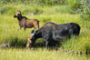 Mother moose grazes in Christian Creek while its calf watches nearby. Christian Creek, Grand Teton National Park, Wyoming, USA. Image #13043