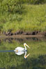 White pelican on the Snake River. Grand Teton National Park, Wyoming, USA. Image #13054