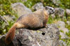 Yellow-bellied marmots can often be found on rocky slopes, perched atop boulders. Yellowstone National Park, Wyoming, USA. Image #13055