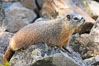 Yellow-bellied marmots can often be found on rocky slopes, perched atop boulders. Yellowstone National Park, Wyoming, USA. Image #13057