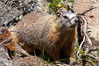 Yellow-bellied marmots can often be found on rocky slopes, perched atop boulders. Yellowstone National Park, Wyoming, USA. Image #13058