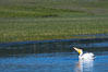 White pelican on the Yellowstone River. Hayden Valley, Yellowstone National Park, Wyoming, USA. Image #13110