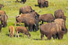 The Lamar herd of bison grazes, a mix of mature adults and young calves. Lamar Valley, Yellowstone National Park, Wyoming, USA. Image #13123
