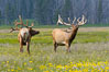 Bull elk spar to establish harems of females, Gibbon Meadow. Gibbon Meadows, Yellowstone National Park, Wyoming, USA. Image #13151