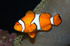 Percula clownfish anemonefish. Image #13673