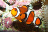 Percula clownfish anemonefish. Image #13675