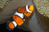 Percula clownfish anemonefish. Image #13676