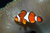 Percula clownfish anemonefish. Image #13677