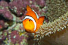 Percula clownfish anemonefish. Image #13678