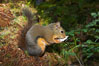 Douglas squirrel, a common rodent in coniferous forests in western North American, eats a mushroom, Hoh rainforest. Hoh Rainforest, Olympic National Park, Washington, USA. Image #13778