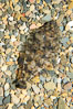 A small (2 inch) sanddab is well-camouflaged amidst the grains of sand that surround it. Image #14937