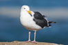 Western gull, adult breeding plumage, note yellow orbital ring around eye. La Jolla, California, USA. Image #15114