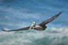 Brown pelican in flight.  The wingspan of the brown pelican is over 7 feet wide. The California race of the brown pelican holds endangered species status.  In winter months, breeding adults assume a dramatic plumage. La Jolla, California, USA. Image #15125