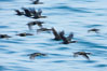 Double-crested cormorants in flight at sunrise, long exposure produces a blurred motion. La Jolla, California, USA. Image #15285
