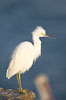 Snowy egret.  The snowy egret can be found in marshes, swamps, shorelines, mudflats and ponds.  The snowy egret eats shrimp, minnows and other small fish,  crustaceans and frogs.  It is found on all coasts of North America and, in winter, into South America. La Jolla, California, USA. Image #15291