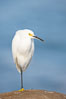 Snowy egret.  The snowy egret can be found in marshes, swamps, shorelines, mudflats and ponds.  The snowy egret eats shrimp, minnows and other small fish,  crustaceans and frogs.  It is found on all coasts of North America and, in winter, into South America. La Jolla, California, USA. Image #15292
