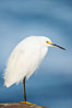 Snowy egret.  The snowy egret can be found in marshes, swamps, shorelines, mudflats and ponds.  The snowy egret eats shrimp, minnows and other small fish,  crustaceans and frogs.  It is found on all coasts of North America and, in winter, into South America. La Jolla, California, USA. Image #15293