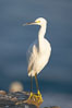 Snowy egret.  The snowy egret can be found in marshes, swamps, shorelines, mudflats and ponds.  The snowy egret eats shrimp, minnows and other small fish,  crustaceans and frogs.  It is found on all coasts of North America and, in winter, into South America. La Jolla, California, USA. Image #15294