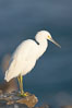 Snowy egret.  The snowy egret can be found in marshes, swamps, shorelines, mudflats and ponds.  The snowy egret eats shrimp, minnows and other small fish,  crustaceans and frogs.  It is found on all coasts of North America and, in winter, into South America. La Jolla, California, USA. Image #15295